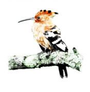African Hoopoe in color by Malcolm Bowling Upcoming Events, Fine Art America, Original Artwork, Fine Art Prints, African, Bird, Wall Art, Gallery, Drawings