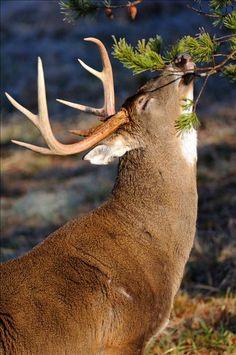 Mature buck leaving his scent. #Deer #Buck