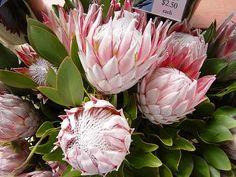 プロテア - Google Search Google Search, Rose, Flowers, Plants, Pink, Plant, Roses, Royal Icing Flowers, Flower