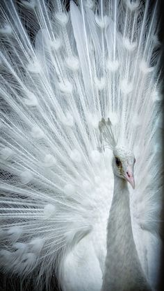 Beautiful White Peacock