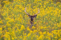 White Tailed Deer in Yellow Flowers