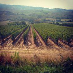 Wineyards near Pisa