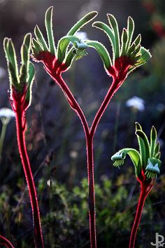 Kangaroo Paw or Anigozanthus Rufus is an Australian Native. As with all natives, put some glycerin in the water to prevent them dessicating when dry.