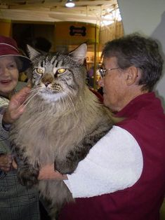 It's a good thing cats love us. Cuz that cat could soooo eat her. This is either a Maine Coon or a Norwegian Forest Cat, or perhaps a mix who is freakishly, fantastically huge. Big House Cats, Big Cats, Cool Cats, Cats And Kittens, Ragdoll Kittens, Tabby Cats, Bengal Cats, White Kittens, Siamese Cats