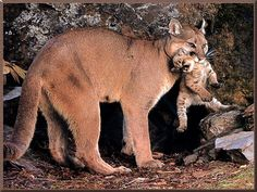 COUGAR MOUNTAIN LION FACTS | XAMOBOX.BLOGSPOT.COM, RELAX
