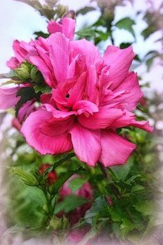 Suzy Grange - Google+ - Tree Rose Of Sharon
