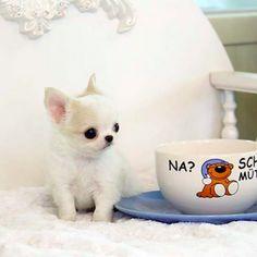 Os 30 Menores Cães Na Terra | PressRoomVIP - Part 4