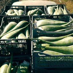 aloe Vera leaves. bio superfood.