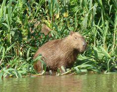 Capybara @ Pantanal, Brazil