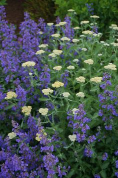 Achillea 'Moonshine', Nepeta | by KarlGercens.com GARDEN LECTURES