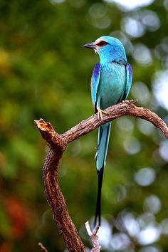 Abyssinian Roller by Jonas Van de Voorde, via Flickr