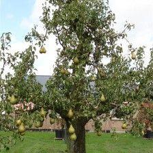 Vink Conference perenboom 60 jaar met fruit