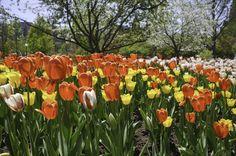 Beautiful flowers and gardens around the world: Tulips in Ottawa Canada