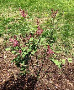 Tinkerbell Lilac May 2017 (planted May 2016)