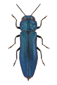 Agrilus cyanescens Ratzeburg, 1837, via Flickr.