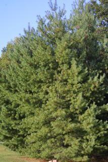Evergreen: White Pine, Pinus strobus, whole tree - general.  Indiana native.