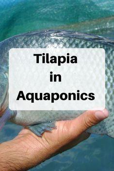 Aquaponics Greenhouse, Aquaponics Fish, Aquaponics System, Hydroponic Gardening, Organic Gardening, Tilapia Fish Farming, Greenhouse Ideas, Vegetable Gardening, Container Gardening