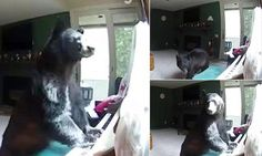 When This Bear Broke Into A Home, He Discovered A Musical Talent He Never Knew Existed.