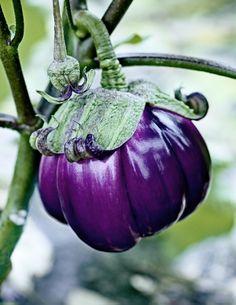 Aubergine violette de Florence / Violet eggplant from Florence ©Stéphane de Bourgies