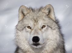 Arctic Wolf Stock Photos, Pictures, Royalty Free Arctic Wolf ...