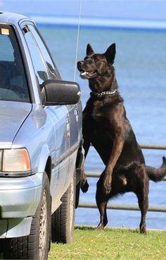 This Dutch Shepherd serves in Lake Tahoe, Calif.  - policemag.com - POLICE Magazine