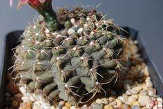 Gy. Baldianum (f1) | da Hibisco1