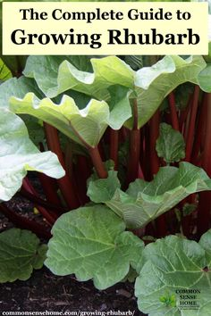 The Complete Guide to Growing Rhubarb - - Growing rhubarb, from planting to harvest, plus tips to keep your plants healthy and producing an abundant harvest for years to come. Organic Vegetables, Growing Vegetables, Organic Fruit, Gardening Vegetables, Growing Tomatoes, Gardening For Beginners, Gardening Tips, Hydroponic Gardening, Gardening Courses