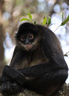 Facts and Statistics about Monkeys, Bushbabies and lemurs Monkey Habitat, Ape Monkey, Spider Monkeys, Primates, Endangered Species, Photo Reference, Animal Photography, Habitats, Creatures