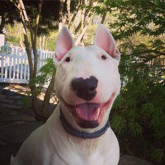 Popcorn the Bull Terrier Instagram: spudsandstuff