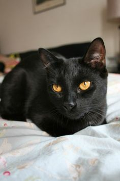 Manger Phat chatte noire