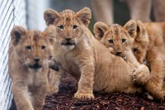 Try not to squeal, just try. The cubs will make their debut Sat., Feb. 16 from 11 a.m. to 2 p.m. at the zoo! #cute Photo: Josh Trujillo/SeattlePI