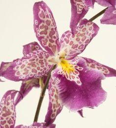 El género Dendrobium comprende más de mil doscientas especies que de hecho son tan diversas como las condiciones ambientales en que crece.