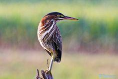 Green Heron   #birds #birdwatchers #nature #birdlovers #photography #500px