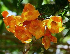 Orange Jubilee Tecoma-Tecoma x 'Orange Jubilee'-close up, via Flickr.