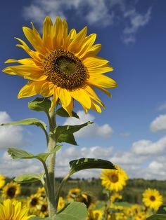 There are very few things that will instantly put a smile on anyones face. I'm very certain sunflowers are one of them.