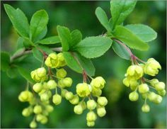 BARBERRY - BERBERITZE - ABRILLA (Berberis vulgaris) The plant is both poisonous and medicinal. Except for its fruits and seeds, the plant is mildly poisonous. Its most potent agent is berberine, which is also known to have a number of therapeutical effects.