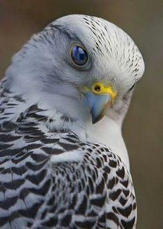 Beautiful Falcon!