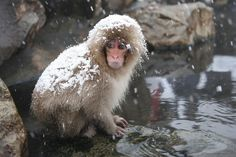 Japanese Macaque Monkeys Relax In Hot Springs
