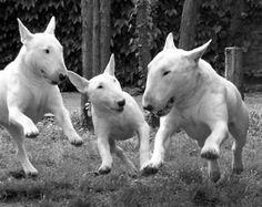 Staffpittbull - Anglicky Bulteriér