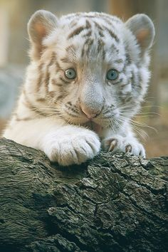 Bengal White Tiger {Panthera tigris tigris} White tigers are a color morph of any subspecies of tiger whose fur is white or almost white, though it is not a separate subspecies. This coloration is caused by a recessive gene.