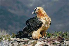 Lammergeier-vulture.jpg 658×441 pixels