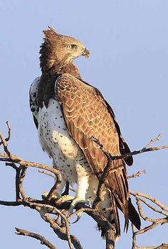 Martial eagle in Namibia - Etosha