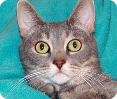Renfrew, PA - Domestic Shorthair. Meet Smokey 3, a cat for adoption. Gray Or Blue (Mostly) Age: Adult Sex: Male ID#: 4036987 Hair: Short  http://www.adoptapet.com/pet/10770001-renfrew-pennsylvania-cat