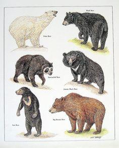 Items similar to Bear Print - Polar Bear, Black Bear, Sun Bear, Big Brown Bear, etc. - Vintage 1984 Animal Book Plate on Etsy Bear Species, Animal Species, Black Bear, Brown Bear, Spectacled Bear, Animal Plates, Bear Print, Fauna, T Rex