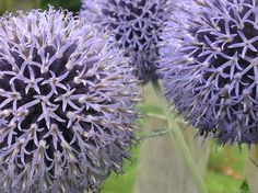 Purple spike ball orbs - can never remember the name of the plant.