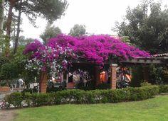 Así florecen las Bugambilias en nuestro Club.