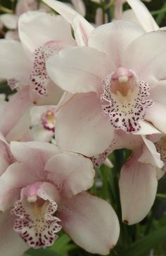 Garden Flowers - Annuals Or Perennials Cymbidium Stargate - Masses Of Huge, Dreamy Flowers Orquideas Cymbidium, Growing Orchids, Cymbidium Orchids, Wonderful Flowers, Office Plants, Orchidaceae, Different Plants, Stargate, Sugar Flowers