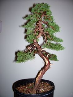 old shimpaku. Bonsai Tree Types, Juniper Bonsai, Bonsai Styles, Bonsai Garden, Art Of Living, Ikebana, Plant Hanger, Shrubs, Minis