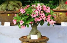 Adenium Bonsai Obesum Desert Rose Rajasthan Jaipur Bonsai Adenium Plant Here we have great photo about bonsai desert rose. Bonsai Art, Bonsai Plants, Bonsai Garden, Garden Trees, Trees To Plant, Bonsai Trees For Sale, Bonsai Tree Types, Plantas Bonsai, Planting Roses