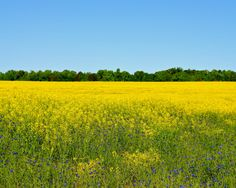 Nature Photography - Field of Yellow - Travel, Floral, Flower, Southern, Botanical, Fine Art Photography